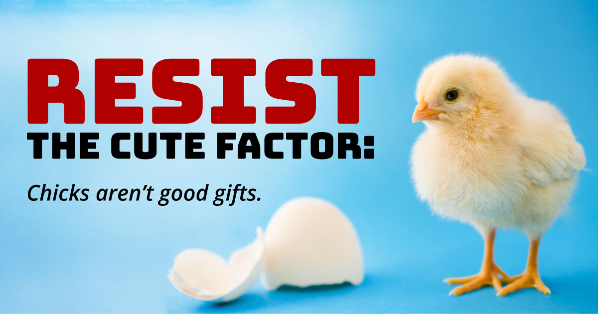 Resist the cute factor: Chicks aren't good gifts.